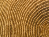 A Close View of Tree Rings Photographic Print by Taylor S. Kennedy