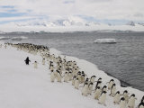 Chin Strap Penguins March Along the Icy Coast of Antarctica Photographic Print by Ralph Lee Hopkins