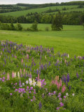 Lupines Grow in Front of Hay Fields in Springtime Photographic Print by Taylor S. Kennedy