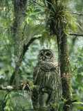 Barred Owl Perches on a Tree Branch Amid Air Plants Photographic Print by Klaus Nigge