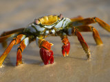 A Sally Lightfoot Crab Crawls Along the Sandy Shore Fotografisk tryk af Ralph Lee Hopkins