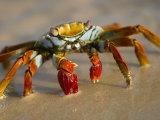 A Sally Lightfoot Crab Crawls Along the Sandy Shore Fotografisk tryk af Ralph Lee Hopkins