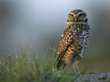 Burrowing Owl in its Grassland Habitat Photographic Print by Klaus Nigge