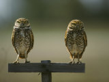 Pair of Burrowing Owls Perch on a Post Photographic Print by Klaus Nigge