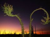 View at Twilight of a Boojum Tree in Baja Photographie par Bill Hatcher