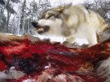 Snarling Gray Wolf near a Deer Carcass in Upper Minnesota Fotografisk trykk av Joel Sartore