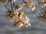 Prothonotary Warbler on a Blooming Cherry Tree Branch Photographic Print by Charles Kogod