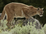 Mountain Lion Watches its Territory from a Rock Photographic Print by Jim And Jamie Dutcher