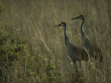 Pair of Sandhill Cranes Stand Amid the Tall Grass of a Marsh Photographic Print by Klaus Nigge