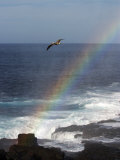 A Blue Footed Booby Soars Above a Rainbow on Espanola Island Reproduction photographique par Ralph Lee Hopkins