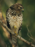 Red-Shouldered Hawk Perches on a Tree Branch Papier Photo par Klaus Nigge