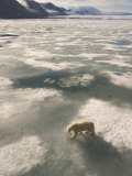 A Polar Bear Walks Across the Pack Ice of Svalbard Archipelago Photographic Print by Ralph Lee Hopkins