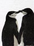 A Pair of Chin Strap Penguins Rub Beaks Fotografisk tryk af Ralph Lee Hopkins
