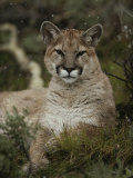 Portrait of a Mountain Lion with Snowflakes Photographic Print by Jim And Jamie Dutcher