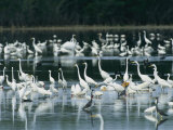 Egrets, Herons, Ibises and Pelicans Wade in the Water Photographic Print by Klaus Nigge