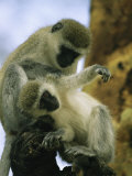 A Pair of Vervet Monkeys Grooming Photographic Print by Michael Melford