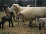 Ewes and Their Newborn Lambs Photographic Print by Stephen Alvarez