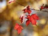 Autumn-Hued Maple Leaves Clinging to a Branch Photographic Print by Charles Kogod