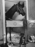 Horse of the Year, Kelso, Standing in His Stall Lámina fotográfica por George Silk