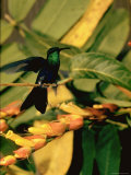 Hummingbird on a Branch in Amazonia Premium Photographic Print by Dmitri Kessel
