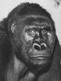 Gorilla Premium Photographic Print by Nina Leen
