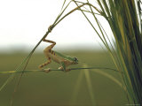 Green Tree Frog Moving Precariously From Branch to Branch, Brazil Premium Photographic Print by Dmitri Kessel