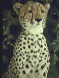 Cheetah Proudly Crouched on Game Reserve in Country in Africa Premium Photographic Print by John Dominis