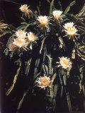 Hawaiian Flora: Night Blooming Cereus Photographic Print by Eliot Elisofon