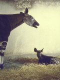 Baby Okapi Sitting on Mat of Straw as Its Mother Looks on at Parc Zooligique of Vincennes Premium Photographic Print by Loomis Dean