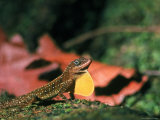 Lizard with Puffed Yellow Pouch on Dominica Premium Photographic Print by John Dominis