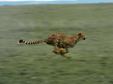 Cheetah Running Across Grassland in Country in Africa Premium Photographic Print by John Dominis