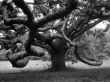 Giant Oak Tree on Martha's Vineyard Photographic Print by Alfred Eisenstaedt