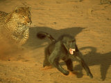 Leopard Chasing Terrified Baboon Across the Sands of the Kalahari Desert Premium Photographic Print by John Dominis