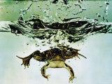 Frog Jumping Into an Aquarium Fotografie-Druck von Gjon Mili