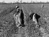 African American Farm Workers Picking Cotton Premium Photographic Print by Grey Villet