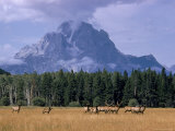 Elk Grazing in Foreground with Mt. Moran in the Background Premium Photographic Print by Eliot Elisofon
