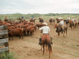 Cowboys on the King Ranch Move Santa Gertrudis Cattle from the Roundup Area Into the Working Pens Premium Photographic Print by Ralph Crane