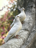 Doves Sitting on Tree Branch, in Chapultepec Park Fotografisk trykk av John Dominis