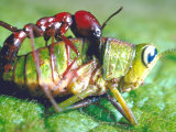 Close Up Side View of a Driver Ant Attacking a Grasshopper, Africa Fotoprint van Carlo Bavagnoli