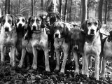 Beagles in the Forest of Fontainebleau Photographic Print by Alfred Eisenstaedt