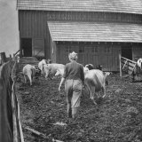 Woman Driving Cows Into a Barn Photographic Print by J. R. Eyerman