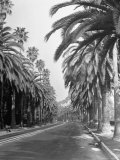 Palm Trees Surrounding the Highway Premium Photographic Print by J. R. Eyerman
