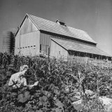 Patricia Colleen Altree Working in the Vegetable Garden Photographic Print by J. R. Eyerman