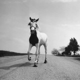 Jimmy the Horse Rollerskating Down Road in Front of Its Farm Photographic Print by Joe Scherschel