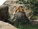 Male Lion Sleeping on a Rock in Africa Photographic Print by John Dominis