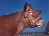 Close Up of a Red Poll Cow Premium Photographic Print by Eliot Elisofon