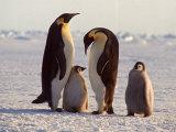Emperor Penguins, Antarctica Premium Photographic Print by Michael Rougier