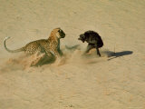 Leopard About to Kill a Terrified Baboon Premium fotografisk trykk av John Dominis