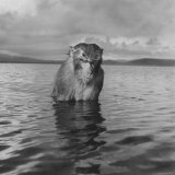 Rhesus Monkey Sitting in Water Up to His Chest Photographic Print by Hansel Mieth