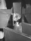 Kitten Walking Through a Maze During Psychological Testing at Brooklyn College Premium Photographic Print by Nina Leen